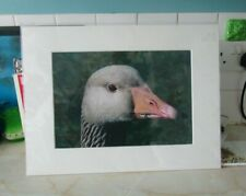 "16"" x 12 wildlife NATURE photograph large GREYLAG GOOSE bird art picture MOUNTED"