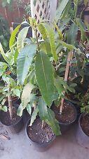 Manila Mango Tree - 3 Feet Tall - Ship in 3 Gal Pot