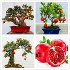 30 pcs bonsai pomegranate seeds very sweet Delicious fruit succulents Tree seed