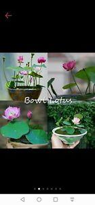 Lotus Seed, bowl lotus, water lily
