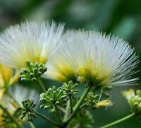 50 Samen Albizia kalkora, Seidenbaum, Kalkora Mimosa
