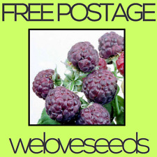 LOCAL AUSSIE STOCK - Purple Raspberry, Fruit Tree Plant Seeds ~10x FREE SHIPPING