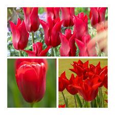 Pieter De Leur Tulip x 30 Bulbs.Beautiful Dark Red Spring Flowers.