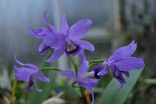 Orchidee Cattleya- bowringiana coerulea - Jungpflanze great Seedling Pflanzen