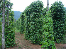 Peppercorn Seeds ( Black Pepper ) - Piper Nigrum -Potted Plant - 1000+ Seeds