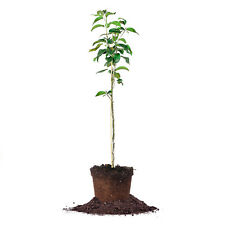 Carnes Pear Tree, Live Plant, Size: 3-4 ft.