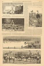 Ostrich Culture, Ostrich, Feather, Farm Scene, Vintage, 1878 Antique Art Print.