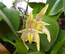 Orchid Bulbophyllum variabile  x Bulb. reticulatum