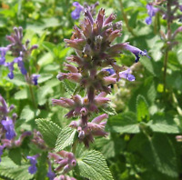 New CATS HERBS CATMINT CATWORT CATNIP Nepeta Cataria Hardy Perennial 250 Seeds