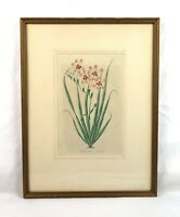 Antique 19th Century Botanical Flower Floral Lithograph Print 1834