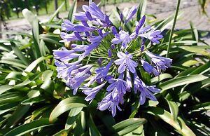 die schöne Blume: die tolle, blaue Schmuck-Lilie - muß man haben !