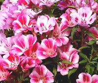 GODETIA FAREWELL TO SPRING DWARF Clarkia Amoena - 10,000 Bulk Seeds