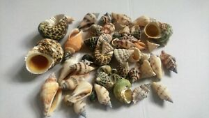 Hermit crab shells