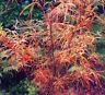 Acer palmatum Red pygmy vaso 8x8 cm. (da innesto non da talea) gref.