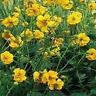 Geum- Chiloense- Lady Stratheden- 50 Seeds-       - BOGO 50% off SALE