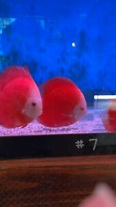 red Lemon Discus 4 Inch Tropical Live Fish