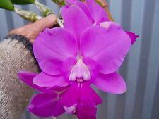 Cattleya walkeriana Selected orchid plant (Marjorie x self)
