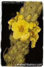 "Verbascum thapsus ""Grande Molène"" [EX. Suffolk, en Angleterre] 1000+ Graines"