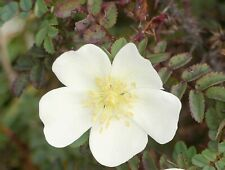 Rosa spinosissima - Scottish Rose - 20 Fresh Seeds