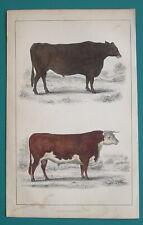 Bull & Suffolk Ox Mammals - 1853 Hand Colored Antique Print