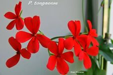 Pelargonium togaense 3 graines/Seeds)