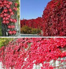 Stecklinge wilder Wein winterharte mediterrane Exoten Bäume Deko für den Garten
