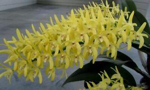 Orchid plant Den speciosum v curvicaule bloom size