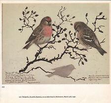 BEAUTIFUL VINTAGE BIRD PRINT ~ REDPOLLS ON AN ALDER BRANCH