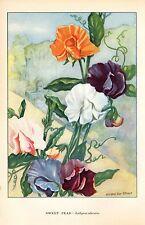 "1926 Vintage GARDEN FLOWER ""SWEET PEAS"" GORGEOUS COLOR Art Print Lithograph"