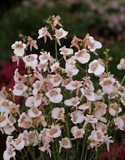 Diascia Queen Asca Series White Blush Annual Seeds