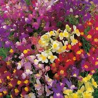 LINARIA FAIRY BOUQUET MIX SEEDS GROUNDCOVER HANGING BASKET FLOWER POT 1000 SEEDS