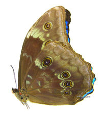 Unmounted Butterfly/Morphidae - Morpho amathonte amathonte, male, 76mm
