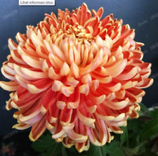 100PC Chinese mum Seeds Rare Perennial Flower Seeds PEACH Chrysanthemum seed
