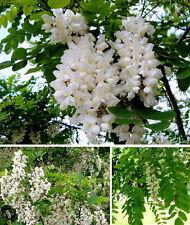 Weiße Robinie Pflanze Baum für den Balkon Topf Blumentopf winterhart robust Duft