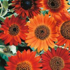 Sunflower- Earthwalker- 100 Seeds