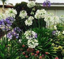 15 Organically Grown Huge 8 Yrs Blue Or White Lrg Bloom Agapanthus Lily Pants+Ex