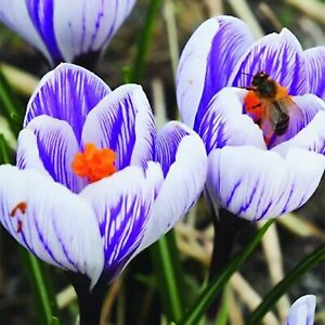 10 Striped Crocus Bulbs for Planting - Stunning Spring Blooms