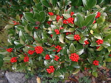 Skimmia japonica Japanese Skimmia 20 Seeds White flower/Red berry Shrub UKFreePP