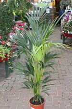 Indoor Plant - House or Office Plant-Howea forsteriana Kentia Palm 1.4M tall