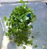 Dwarf Pennywort Pot Hydrocotyle Tripartita Japan Live Aquarium Plant Foreground