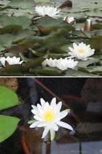 Weiße Seerose winterfeste schnellwüchsige blühende Teichpflanze gegen Algen Deko