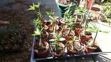 Adenium obesum Desert Rose 1 1/2 year old (2 plants)