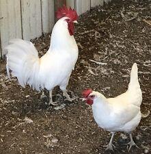8 + 2 White Leghorn Hatching Eggs Npip H5/H7 Ai Clean & Kentucky Proud