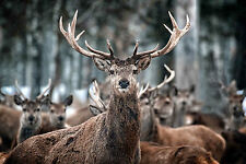 SUPERB SCOTTISH HIGHLAND STAGS #6 QUALITY WILDLIFE CANVAS PICTURE WALL ART A1