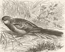 BIRDS. Rose hill broadtail 1895 old antique vintage print picture