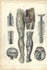 Stampa antica ANATOMIA CORPO UMANO Par INFERIORE medicina 1850 Old Antique print