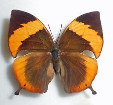 MEMPHIS PHILOMENA ssp. PHILOMENA*female*BOLIVIA