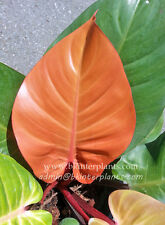 "Very New Philodendron ""Orange Queen"" Very Beautiful color +Free Phyto Don't miss"