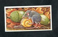 Brooke Bond Trading Card: Incredible Creatures: No.2 Etruscan Shrew