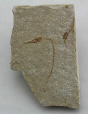 Fisch, Hastichthys gracilis, Kreide, Cenoman, Haquil, Libanon (eb2252)